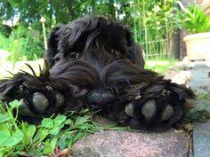 Black Russian Terrier – Stalin's dog | DinoAnimals.com