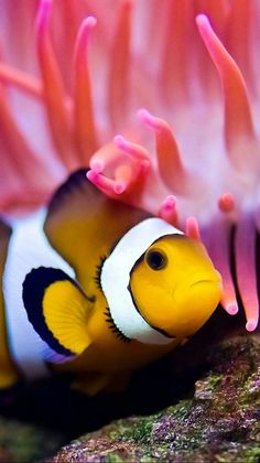 Clown fish among the coral. #tropicalfishsaltwatercoralreefs
