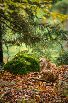 """Lynx's allergy - This lynx seems to say: """"these photographers make me scratch!""""  Bayerischer Wald-Germany"""