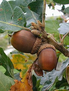 Virginia Tech Dendrology is THE source for tree identification. Acorns To Oaks, Acorns Grow, Acorn And Oak, Tree Identification, Autumn Scenes, Tree Seeds, Fall Pictures, Seed Pods, Gardening
