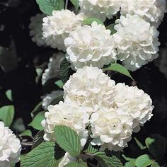 """In spring this bush is literally covered with masses of big white """"snowball"""" clusters that contrast with the bright green leaves. Make excellent tall informal hedges and border pla Cheap Landscaping Ideas, Small Backyard Landscaping, Tropical Landscaping, Backyard Ideas, Tropical Gardens, Snowball Plant, Four Seasons Nursery, Gardening Direct, Organic Gardening"""