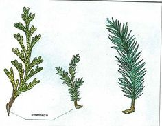 Размножение хвойных растений Evergreen Garden, Evergreen Trees, Trees And Shrubs, Cactus Plants, Garden Plants, Bonsai Art, Tomato Seeds, Goat Farming, Garden Trellis
