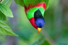 Budgies, Parrots, Melbourne Museum, Hanging Upside Down, Fiji Islands, Cockatoo, Flowering Trees, Urban Landscape, Deep Purple