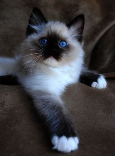 Best Cat Breeds for Families:  RAGDOLL     Beautiful cats that have blue eyes & cream colored fuzzy fur. An interesting feature of these cats is that their body goes limp when you pick them up hence their name. Aside from their beauty & ragdoll quality they're affectionate & love to be around families. Also they aren't jumpers so you don't have to worry about them getting on kitchen counters.