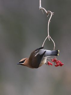 cedar waxwing, photo by the nature nook