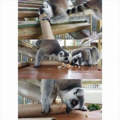 """""""All Minced Up"""" The Lemurs' food is chopped into tiny pieces and stuffed into toilet paper tubes to encourage them to work for their food!"""