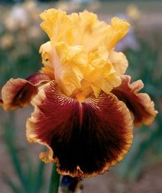 Iris germanica 'Mexican Holiday'  Tall Bearded Iris  Plant Type: Perennials  New for 2013  Bright fiesta gold standards with maroon falls with a variegated gold edge, super bloomer with 11 flowers per stem