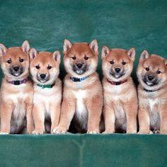 What's cuter than a Shiba Inu puppy? 5 Shibs Inu puppies! #exit57studios #shibainu #shibainupuppy #shibainulove #shibamania #shibasofig #shibasofinstagram #shibalove #shibalovers #shiba #shibapuppies #puppy #puppies #puppiesofinstagram #puppiesofig #woof #dogsofinsta #petsagram #petsofig #dogphotography #dogphotographer #puppyphotoshoot #studiophotography #Regram via @exit57studios