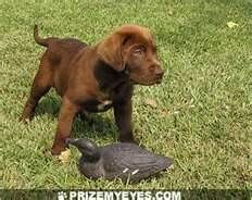 chocolate lab puppy pictures reminds me of Hershey