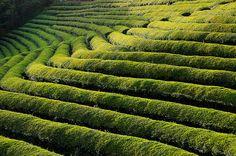 Boseong Tea Plantation:보성차밭