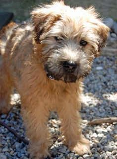 Wheaten Terrier Dog