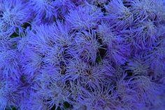 Blue Flower 13x19 In. Print $20.00