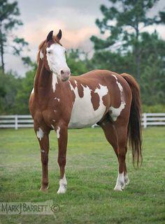 Chestnut Pinto horse :: American Paint Horse stallion