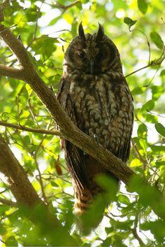Stygian Owl mocho diabo