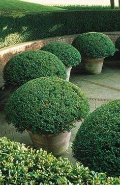 Garden Design Ideas : Boxwoods in Terracotta Pots Boxwood Garden, Topiary Garden, Garden Planters, Outdoor Pots, Outdoor Gardens, Outdoor Living, Love Garden, Dream Garden, Landscape Design