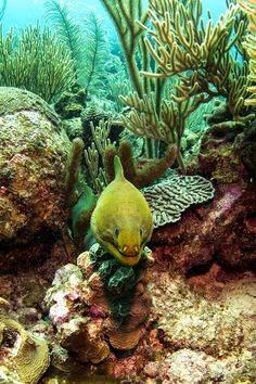 I know they are harmless (unless provoked) but I just don't like them!  Moray Eel spotted in Belize.