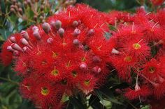A grafted dwarf eucalypt grows to around instead of We have red, orange, pink and white. Trees And Shrubs, Trees To Plant, Grafting Plants, Australian Native Garden, Red Plants, Eucalyptus Tree, Specimen Trees, Backyard Plants, Orange Flowers