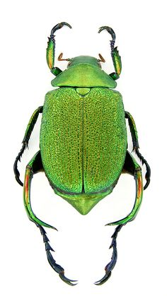 Nome: Chrysophora Chrysochlora; Espécie: C. Chrysochlora; Gênero: Chrysophora; Subfamília: Rutelinae; Família: Scarabaeidae; Ordem: Coleoptera; Classe: Insecta; Filo: Arthropoda; Reino: Animalia.