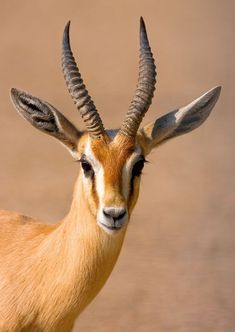 7 Amazing Animal Adaptations for Life in the Desert . - - 7 Amazing Animal Adaptations for Life in the Desert . Animals With Horns, Animals And Pets, Cute Animals, Majestic Animals, Animals Beautiful, Animal Paintings, Animal Drawings, African Antelope, Desert Animals