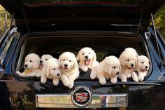 The Cadillac of Puppies - English Cream Golden Retrievers