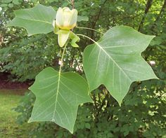 Image result for tulip trees uk
