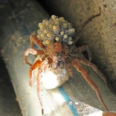 Wolf Spider w/ young, USA