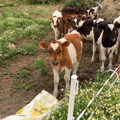 cute cows w/ cute flowers Fluffy Cows, Gato Animal, Baby Cows, Baby Farm Animals, Baby Chickens, Baby Elephants, Wild Animals, Cute Cows, Doja Cat