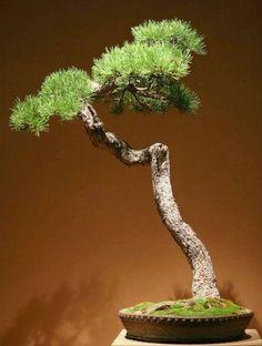 Bonsai Pine Bonsai, Bonsai Art, Bonsai Plants, Bonsai Garden, Garden Trees, Plantas Bonsai, Bonsai Styles, Potted Trees, Small Trees