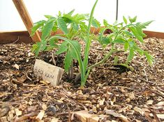 tomato plant tips