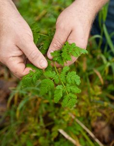 If You Can't Beat 'Em, Eat 'Em! Common Edible Weeds http://www.goodhousekeeping.com/home/gardening/weeds-edible-plants-0409#slide-1