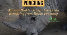 Poachers, Animal Rights Groups Curiously Benefiting from Rhino Poaching Rhino Poaching, Animal Rights Groups, Wildlife, Africa, News, Animals, Animales, Animaux, Animal