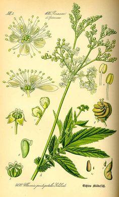 scientificillustration:  Filipendula ulmaria-meadowsweet Thomé, O.W., Flora von Deutschland Österreich und der Schweiz, Tafeln, vol. 3: t. 402 (1885)