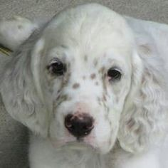 English Setter puppies are born white, then develop their ticking colors as they grow.