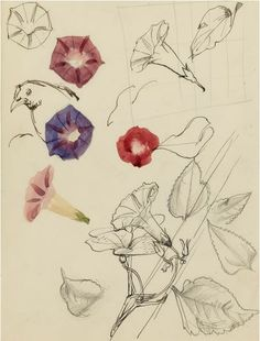 #Charles #Mahoney: Study of #Nasturcians #flower #study #drawing #sketch #art #modernart #britishart #llfa