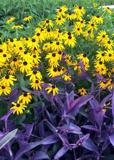 Purpleheart and Goldsturm Gloriosa daisy make a dazzling team in Texas gardens.