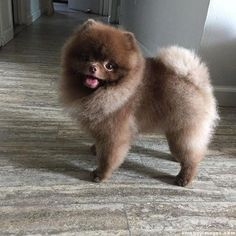 Marvelous Pomeranian Does Your Dog Measure Up and Does It Matter Characteristics. All About Pomeranian Does Your Dog Measure Up and Does It Matter Characteristics. Pomeranian Haircut, Spitz Pomeranian, Pomeranian Facts, Black Pomeranian, Teacup Pomeranian, Pomeranians, Chocolate Pomeranian, Miniature Pomeranian, Puppy Haircut