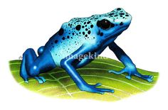 """Blue Poison Dart Frog"" by Roger Hall, Berkeley, CA // Fine art drawing of a Blue Poison Dart or Poison Arrow Frog (Dendrobates azureus) // Imagekind.com -- Buy stunning, museum-quality fine art prints, framed prints, and canvas prints directly from independent working artists and photographers."