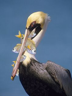 pelican: His Beak Can Hold More Than His Belly Can