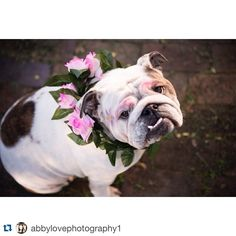 #Repost @abbylovephotography1 ・・・ Dad went to his favourite place Bunnings this morning, so mum and I had some girl time. I was feeling so fresh until dad got home and said I looked like a drag queen #howrude #bulldog #britishbulldog #bullyinstafeature #bulldogsofinstagram #englishbulldog @igbulldogs_sydney #instadog #ilovemydog #imthefavourite #photooftheday #petphotography #dogphotography #dogportrait #sun7 #showyourgrill #squishyfacecrew #dragqueen