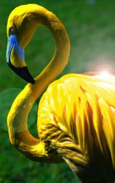 Google+Редкий желтый фламинго