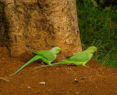 Indian ringnecked parakeet. By Ajith Kumar.
