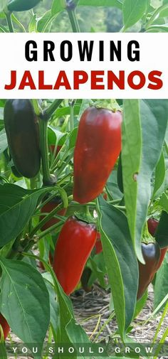 Peppers are a staple in our summer garden. They are really easy to grow and produce like crazy. How to grow peppers and preserve the harvest via @youshouldgrow #summervegetablegardening #growvegetables