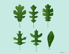 Count the lobes on each leaf. The lobes are the sections that extend out from the center of the leaf's stem on both sides. If possible, compare multiple leaves finding the average number of lobes. A few species such as the willow oak have no lobes at all, but most oaks have multiple lobes.