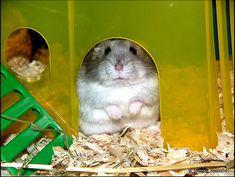 Bringing home hamster