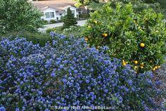 Blue flowering native plant shrub California lilac (Ceanothus 'Julia Phelps') with orange fruit tree on hillside in drought tolerant Southern California garden