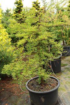 Metasequoia glyptostroboides 'Miss Grace' Specimen 1274 - Conifer Kingdom