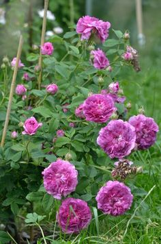 Rosa 'Belle de Crecy' 1829.