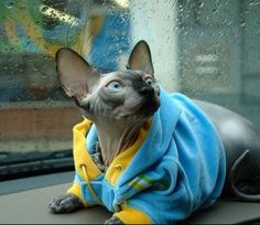 Sphynx Cats | Sphynx Cat Breed Info & Pictures | petMD