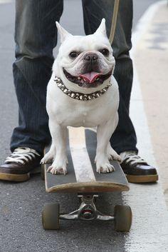 French Bulldog Hachimitsu(Honey) by solutionsoap, via Flickr