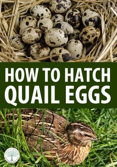 All you need to know to get started raising quail: advantages, disadvantages, incubating, rotating the eggs, brooding quail chicks, and much more. #quail #homesteading